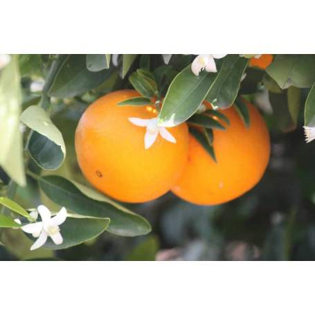Tabelle Orangen Feld von 15 Kilo.