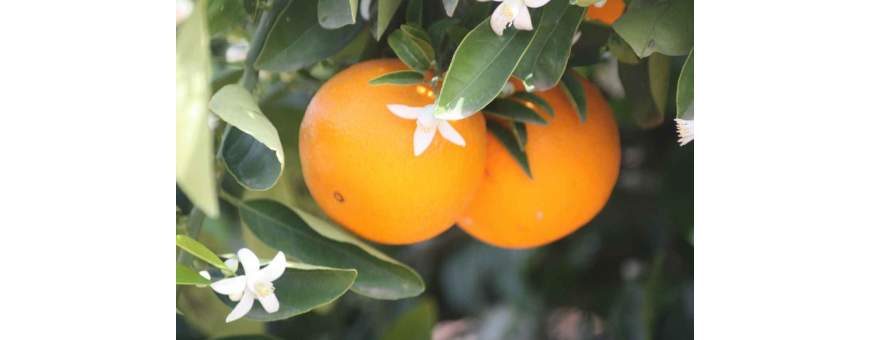 Orbe Table Oranges